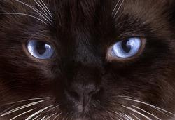Closeup portrait blue eyes brown snowshoe cat sitting on a brown blanket