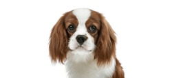 closeup portrait curious pure-bred dog, puppy Cavalier King Charles Spaniel, on white background, isolated