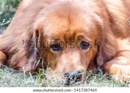 Closeup portrait muzzle of red dog breed Tibetan Mastiff #1417387469