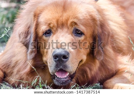 Closeup portrait muzzle of red dog breed Tibetan Mastiff #1417387514