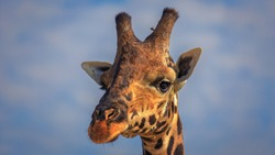 closeup portrait of a Baringo giraffe (Giraffa camelopardalis giraffa) in golden light and against blue sky background