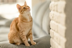 Closeup portrait of a charming young domestic ginger tabby cat sitting at home on the couch and looking up. The concept of love for domestic animals and comfort