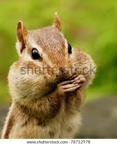 closeup portrait of a chipmunk with her cheeks full