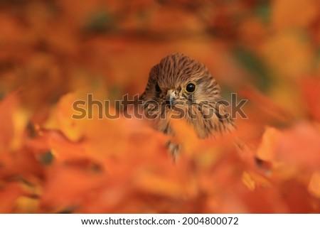 Closeup portrait of a common kestrel. European kestrel sitting on the beech branch. Falco tinnunculus. Autumn scene with a kestrel. Stock fotó ©