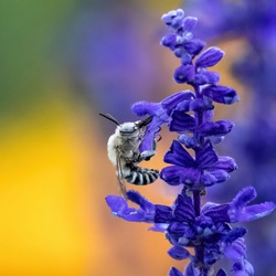 Closeup portrait of a Digger Bee pollinating on a bright purple lavender stalk with a colorful golden soft garden background.