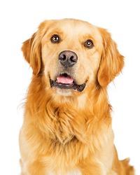 Closeup portrait of a happy and smiling Golden Retriever dog over white