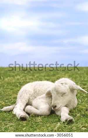 Closeup portrait of a little newborn sheep