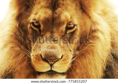 Closeup portrait of a male African lion #775855207