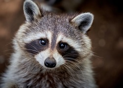 closeup portrait of a raccoon washing too cute