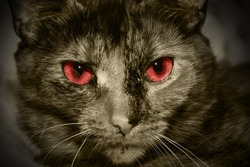 Closeup portrait of a red eyed evil cat