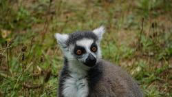 closeup portrait of a ring-tailed lemur (Lemur catta) animal in a zoo