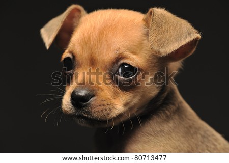 Closeup portrait of a small chihuahua against black background