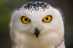 Closeup portrait of a snowy owl