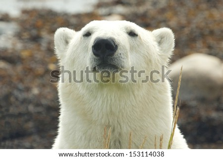Closeup portrait of a wary Canadian Polar Bear in the Arctic tundra of the Hudson Bay near Churchill, Manitoba, in summer