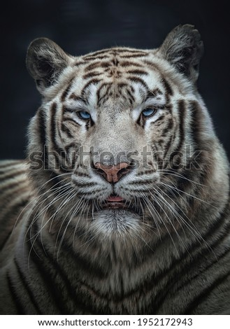 Closeup portrait of a white bengal tiger (Panthera tigris tigris). Eye to eye contact with the biggest cat. Foto stock ©