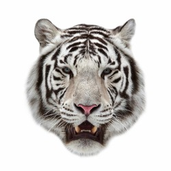 Closeup portrait of a white bengal tiger with open chaps.