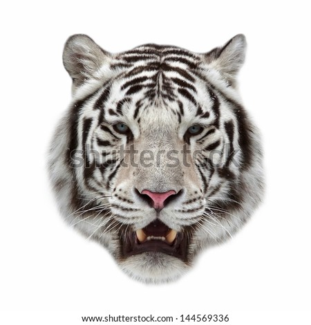 Closeup portrait of a white bengal tiger with open chaps. #144569336