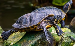 closeup portrait of a yellow bellied cumberland slider turtle, tropical reptile specie from America
