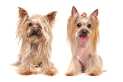 Closeup portrait of a Yorkshire Terrier getting stylish haircut
