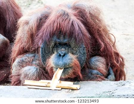 Closeup portrait of adult orangutan
