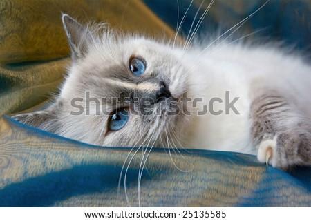 Closeup portrait of adult Ragdoll cat lying on blue bronze shiny fabric background