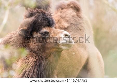 Closeup portrait of an asian camel #1445747753