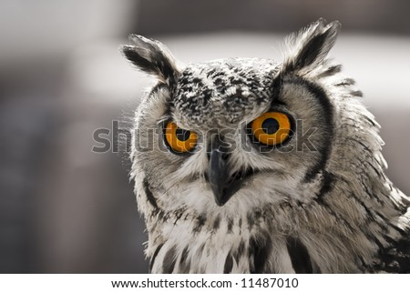 Closeup portrait of an owl. The focus is in his eyes.