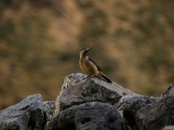 Closeup portrait of Andean flicker Colaptes rupicola woodpecker bird on rock in Huayhuash Peru andes South America