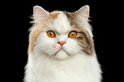 Closeup Portrait of Angry Scottish Highland Straight Cat, White with Red Color of Fur, Isolated Black Background, Front view, Grumpy Face