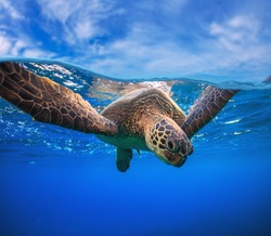 Closeup portrait of aquatic animal sea turtle swimming near water surface. Wildlife underwater shot