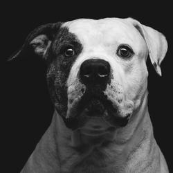 Closeup portrait of beautiful adult purebred american bulldog over black background