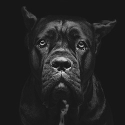 Closeup portrait of beautiful black Cane Corso female dog. Pure breed. Studio shot over black background. Square composition.