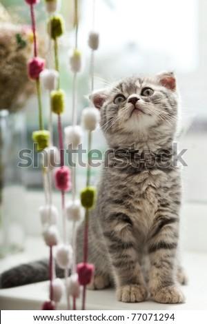 closeup portrait of beautiful kitten with gray hair - stock photo