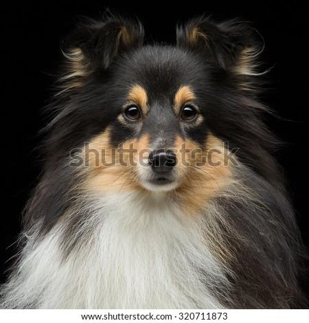 Closeup portrait of beautiful pure breeded tricolor Shetland Sheepdog. Over black background. Square composition.