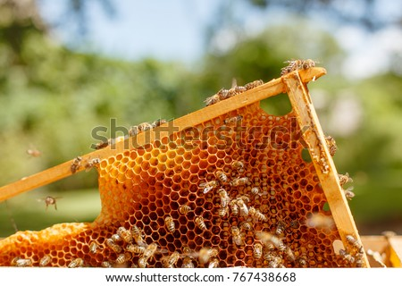 Closeup portrait of beekeeper holding a honeycomb full of bees. Beekeeper in protective workwear inspecting honeycomb frame at apiary. Beekeeping concept. Beekeeper harvesting honey