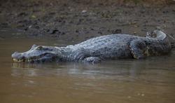 Closeup portrait of Black Caiman (Melanosuchus niger) entering water from riverbank Pampas del Yacuma, Bolivia.