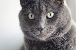 closeup portrait of british shorthair cat, vintage toned