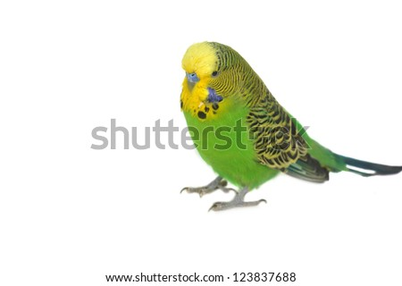 closeup portrait of  budgerigar on white