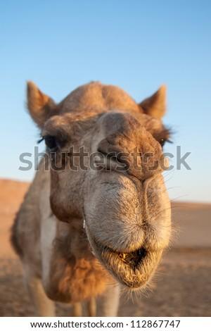 Closeup portrait of camel