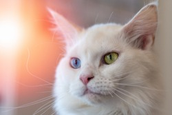 Closeup portrait of cute white fur two different eyes colors of blue and yellow mixed Maine Coon and persian cat, domestic pet.