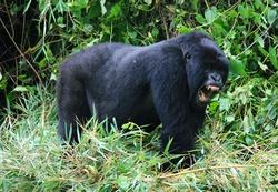 Closeup portrait of endangered adult Silverback Mountain Gorilla (Gorilla beringei beringei) standing on all fours showing teeth Volcanoes National Park, Rwanda.