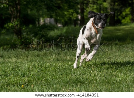 Closeup portrait of English Pointer dog #414184351