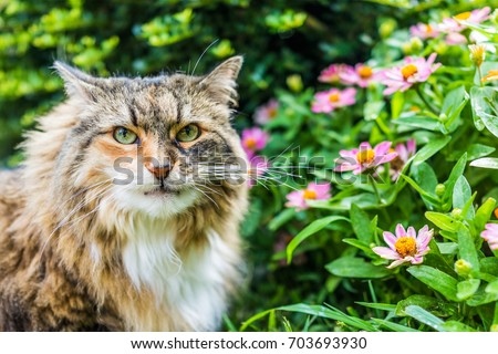 Closeup portrait of Fluffy, large maine coot cat face outside by green plants in summer garden looking angry