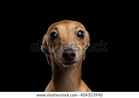 Shutterstock Closeup Portrait of Funny Italian Greyhound Dog Looking in Camera on Black isolated background, Front view