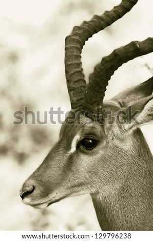 Closeup portrait of gazelle male in the Lake Nakuru National Park - Kenya, Eastern Africa (stylized retro)