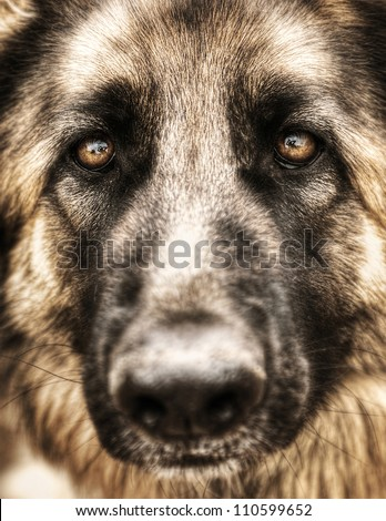 Closeup portrait of german shepherd, cute adult domestic animal, best friend for human, beautiful pedigreed dog face