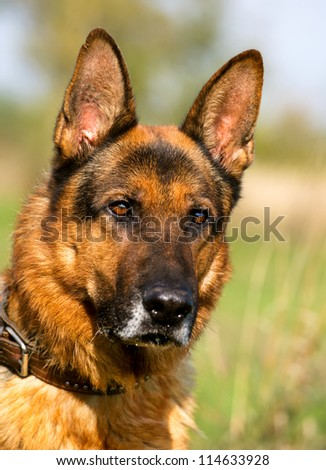 Closeup portrait of German Shepherd Dog