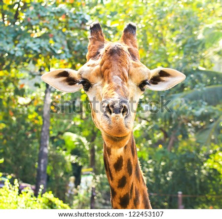 Closeup portrait of giraffe - stock photo