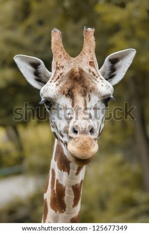 Closeup portrait of giraffe