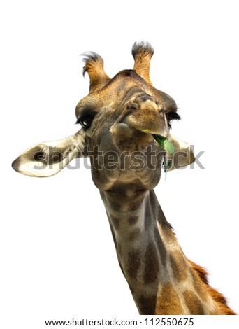 closeup portrait of giraffe isolated on white